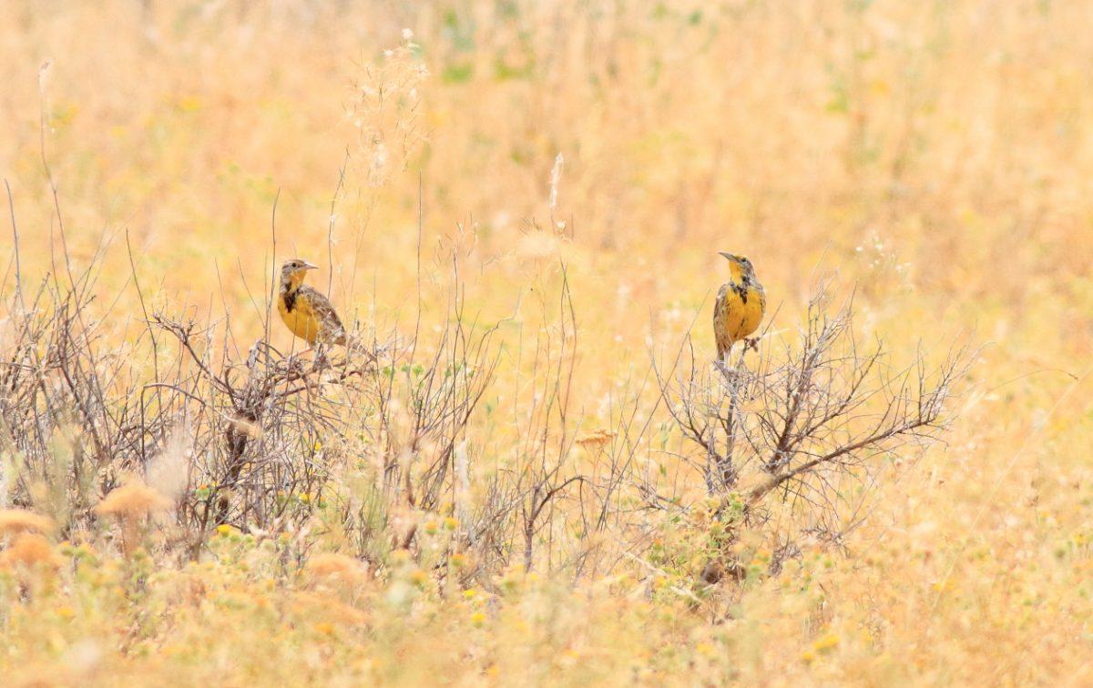 Western meadowlarks- Jim ginns-