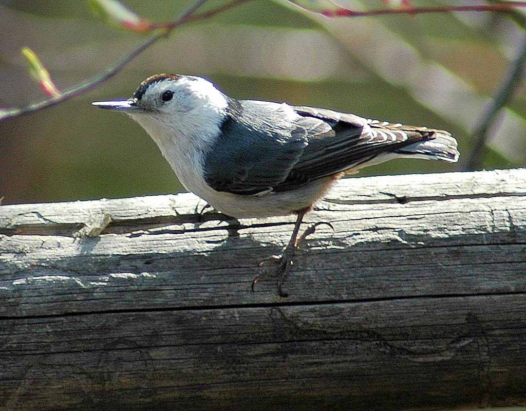 Birds – Dippers, Hummingbirds, Nuthatches, Orioles, Thrush, Waxwings ...